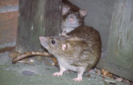 Image of rats near rubbish dump sites