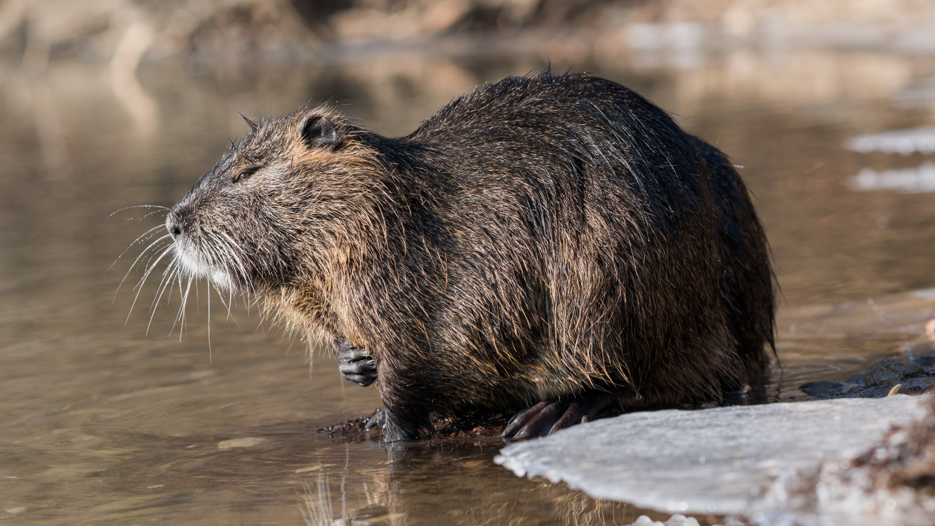 Image of a Coypu in the wild