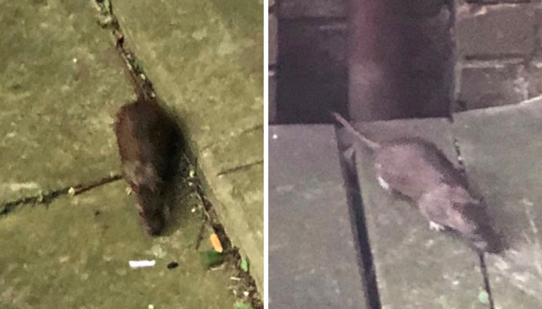 Photos of huge rats immune to normal rat poisons in the Milton Keynes area