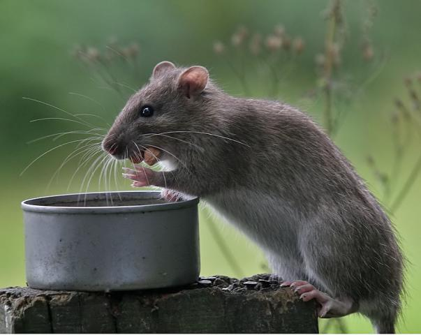 Image of a rat infesting a garden