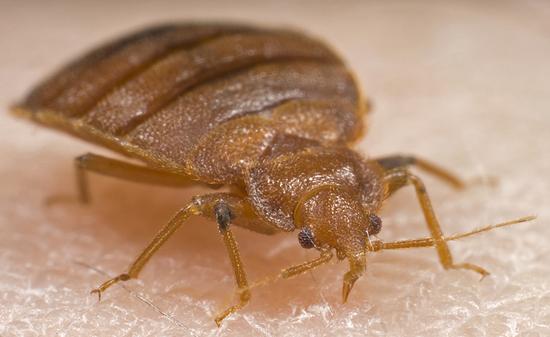 Photo of a bedbug