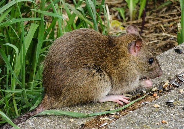 Image of brwon rat in a family\'s garden eating food and shedding germs